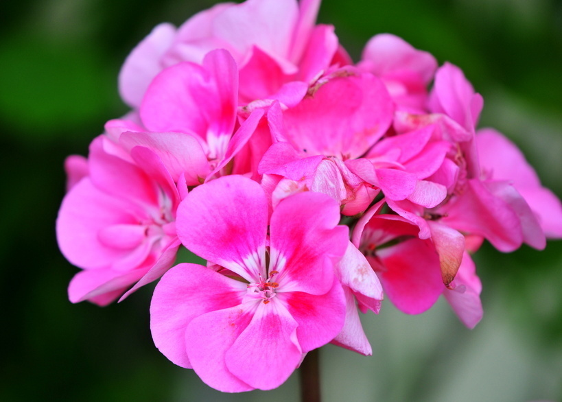 l'huile essentielle de Géranium rosat