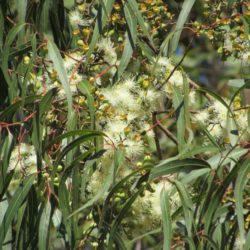 L'huile essentielle d' eucalyptus citronné