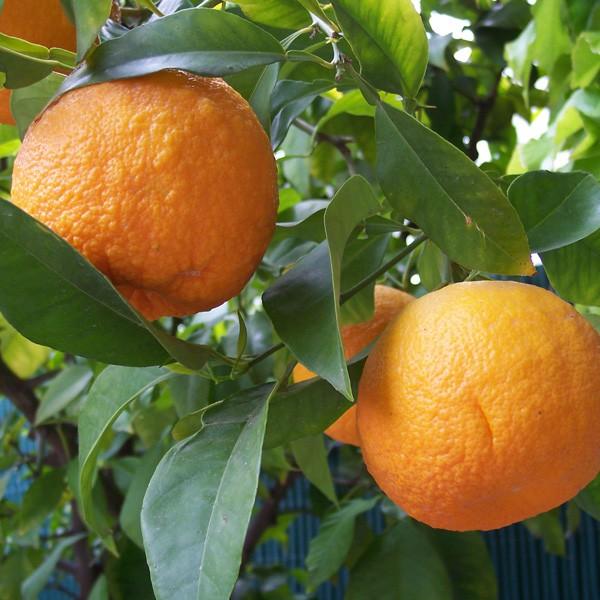 l'huile essentielle de Petit grain bigarade (orange amer)